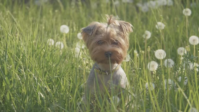 dog yorkshire terrier playing walks in the grass sniffing dandelions slow motion video. lifestyle slow motion video dog in nature pet concept - vídeo