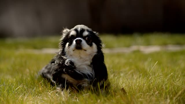 Doggy lays on a lawn