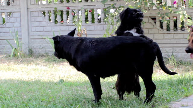dogs bite two dogs biting teeth during mating female dogs videos of dogs mating stock videos & royalty-free footage