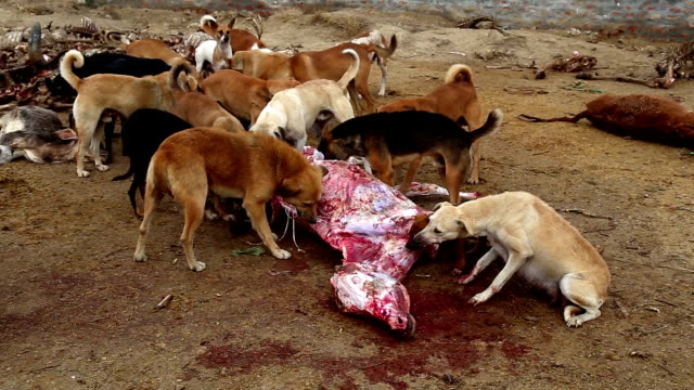 Dogs Eating Dead Animal HD Video: Group of Hungry Dogs Eating Dead Animal Outdoor. animal skeleton stock videos & royalty-free footage