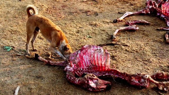 Dogs Eating Dead Animal video