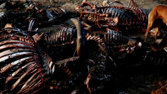 Dogs Eating Dead Animal Group of Hungry Dogs Eating Dead Animals outdoor in the open ground. animal skeleton stock videos & royalty-free footage