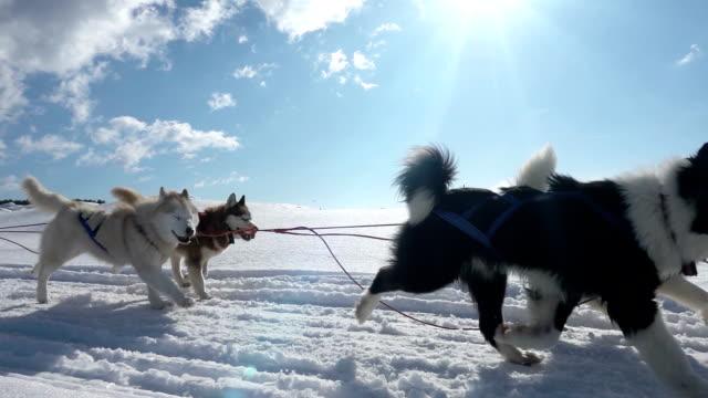 hundar utnyttjas av hundar ras husky pull släde med människor, slow motion, video loop - finland bildbanksvideor och videomaterial från bakom kulisserna
