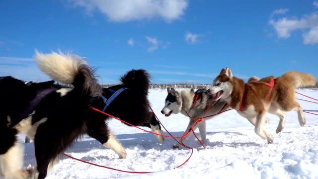 dogs harnessed by dogs breed husky pull sled with people, slow motion, video loop - cane husky video stock e b–roll