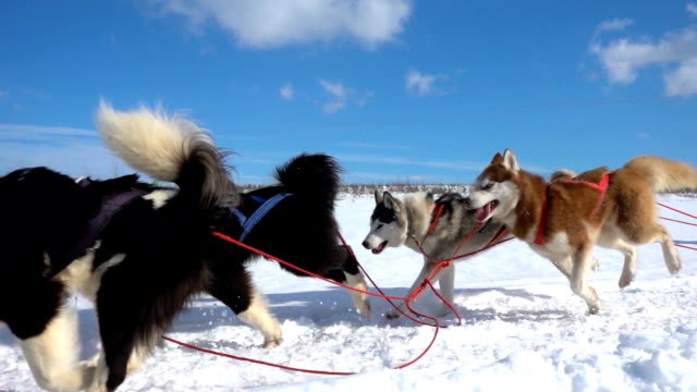 dogs harnessed by dogs breed husky pull sled with people, slow motion, video loop - imbracatura video stock e b–roll