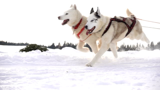 dogs harnessed by dogs breed husky pull sled with people, slow motion - cane husky video stock e b–roll