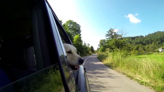 dog's head aus dem fenster werfen - dog car stock-videos und b-roll-filmmaterial