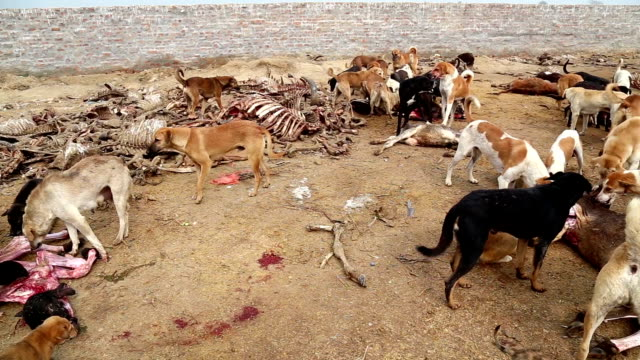 Dogs Hunting Dead Animal video