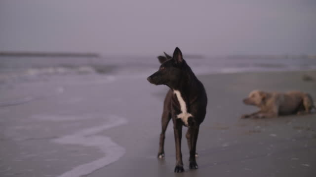 Dogs Running at the Beach. Dogs running in the ocean surf at on the beach into the sunset. setter dog stock videos & royalty-free footage
