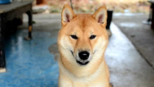 Dogs ,Shiba video