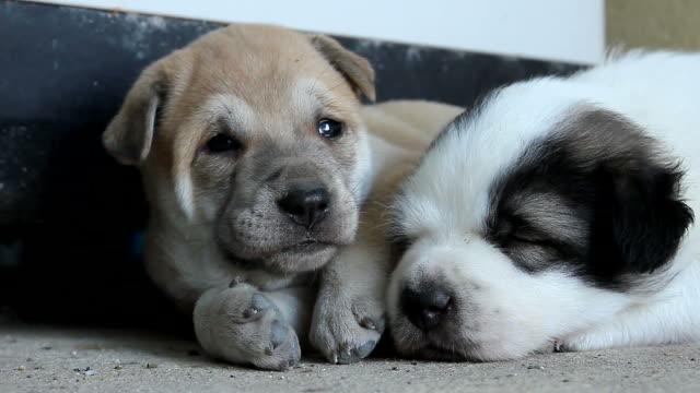 フローリングで寝ている犬 - 2匹点の映像素材/bロール