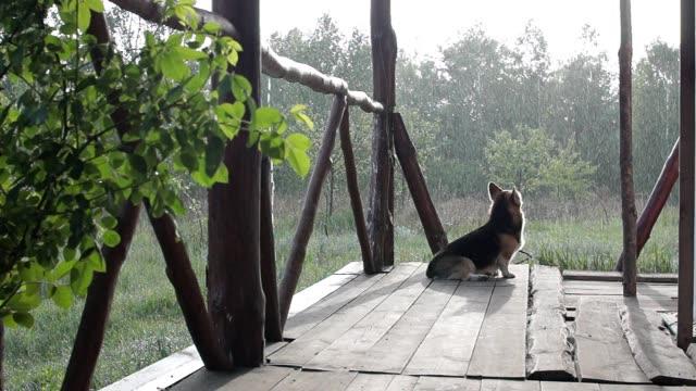 dogs welsh corgi pembroke on the veranda of his house during the rain - portico video stock e b–roll