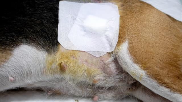 köpek gazlı bez ile sature sonra yaran - kısırlaştırma stok videoları ve detay görüntü çekimi