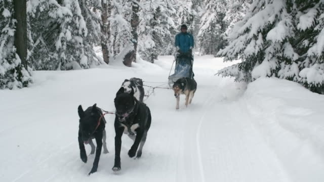Dogsledding through snow-covered woodland video