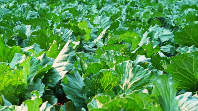 Dolly cabbage or cauliflower in the organic farm and evening sunshine. Dolly cabbage or cauliflower in the organic farm and evening sunshine. Concept of agriculture and harvesting. cabbage stock videos & royalty-free footage