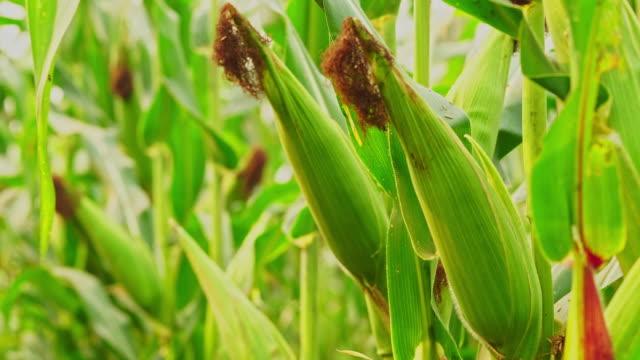 dolly close up young corn cob on the tree in organic farm. - биомасса возобновляемая энергия стоковые видео и кадры b-roll