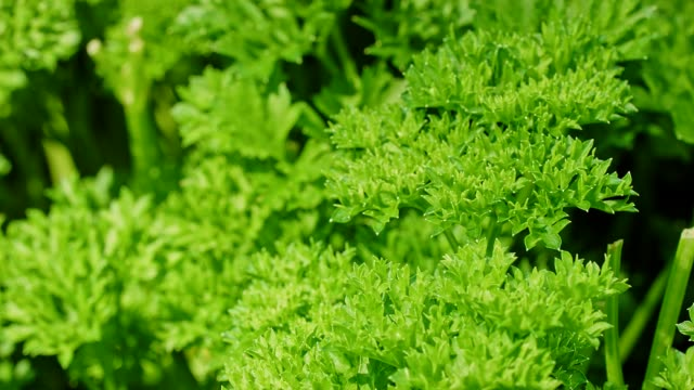 Dolly: fresh parsley in the garden video