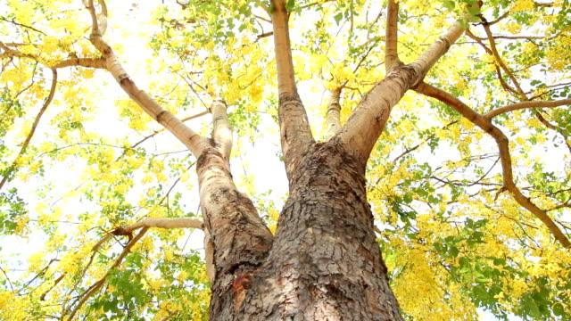 Dolly : Golden shower tree (ratchaphruek flower) video