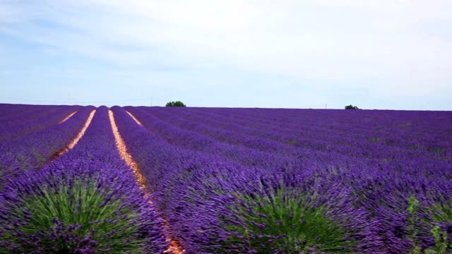 Dolly lavender walkways lavender fields at Valensole village of France famous for its lavender provence alpes cote d'azur stock videos & royalty-free footage