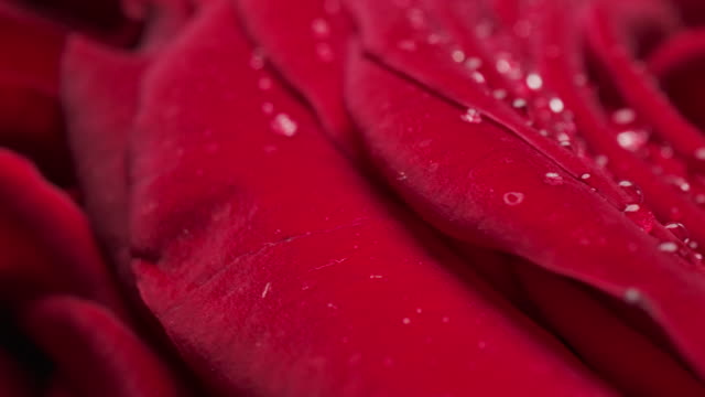 美しい咲く赤いバラの花のドリーマクロクローズアップショット ビデオ