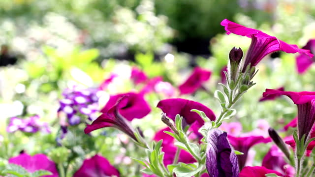 Dolly Past Purple Flowers in Lush Garden Dolly sliding past several vibrant purple flowers in a huge garden. plant nursery stock videos & royalty-free footage