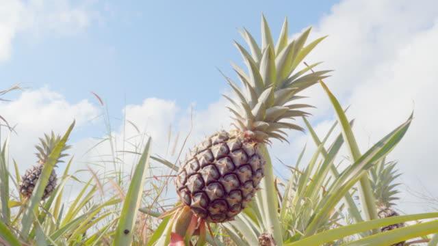 4K dolly: Pineapple
