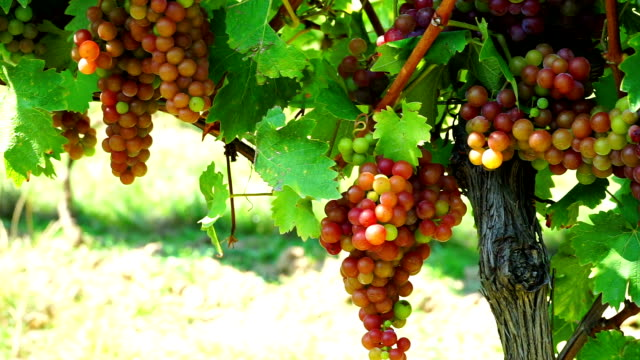 HD Dolly: Red Grapes In Vineyard video