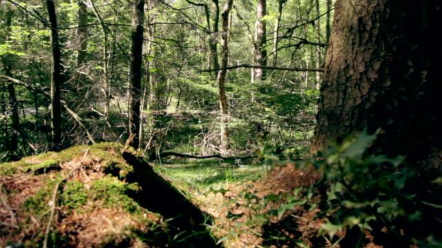 Dolly ride about root in german forest. deutscher Wald video