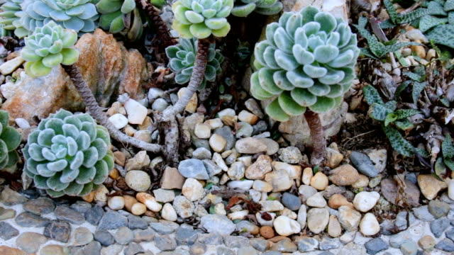 dolly shot cactus in rock garden. video