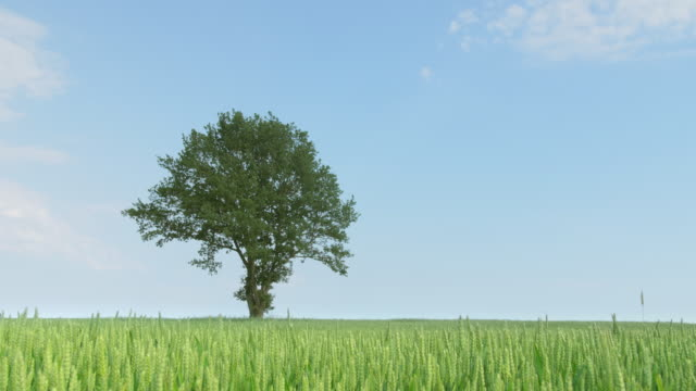 Dolly shot of a green wheat field with a oak-tree video