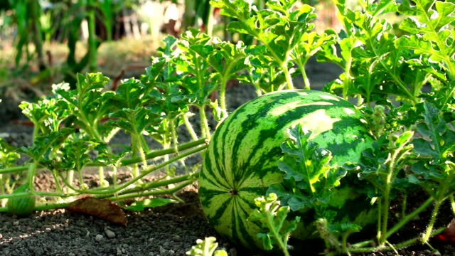 Dolly shot of a watermelon in a gentle breeze Dolly shot of a watermelon in a gentle breeze watermelon stock videos & royalty-free footage