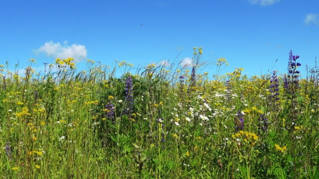 Dolly shot of beautiful blooming summer field. video