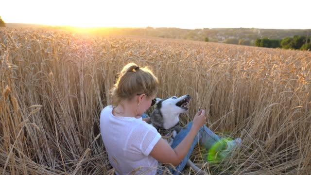 dolly shot of happy woman with blonde hair holding in hand golden spikelet and playing with her siberian husky at wheat meadow. young girl in sunglasses sitting with her pet at field. slow motion - cane husky video stock e b–roll