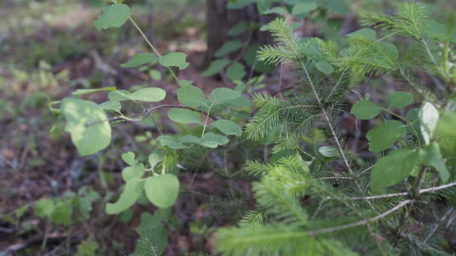 Dolly shot of little young pine tree in forest. Dry branches, cones and needles in the forest. Wild forest. - video