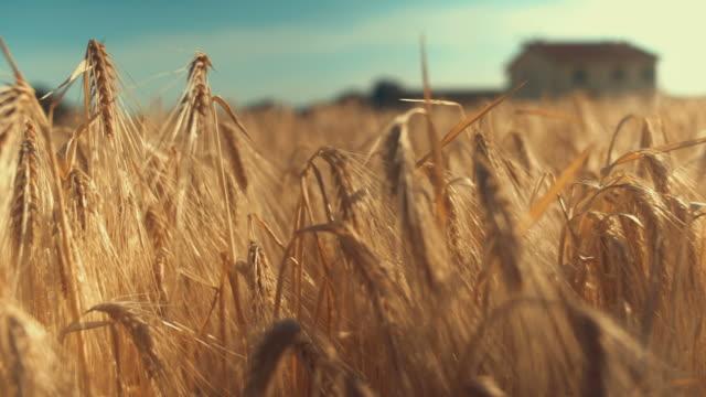 dolly shot of ripe wheat field video