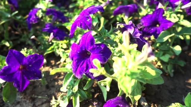 A dolly shot of some beautiful purple flowers blossoming in the garden