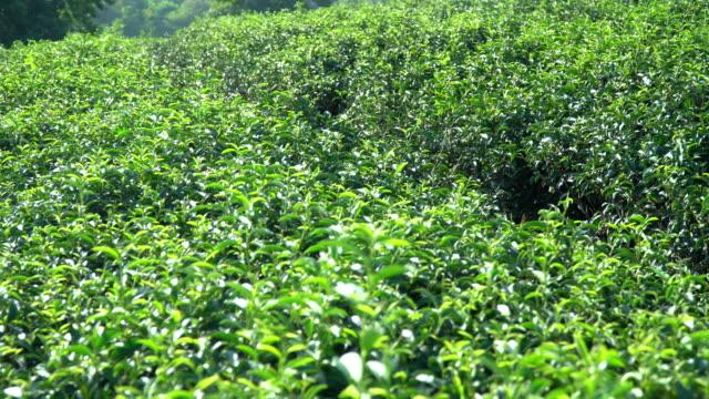 4k dolly schuss von teebaum plantage feld am morgen. schöne frische grüne teebaum mit teeblätter ernte wachsen auf hochland hügel in asien sonnigen tag. teeindustrie und naturumweltkonzept. - grüner tee stock-videos und b-roll-filmmaterial