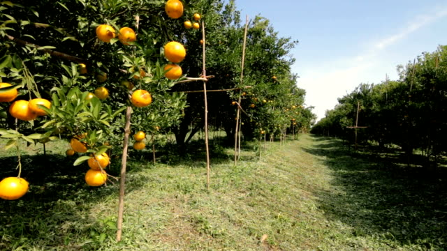 dolly shot orange trees in Orchard video