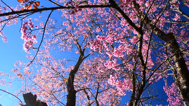 dolly shot: spring pink cherry blossoms with blue sky backgrounds - cherry blossom stock videos and b-roll footage