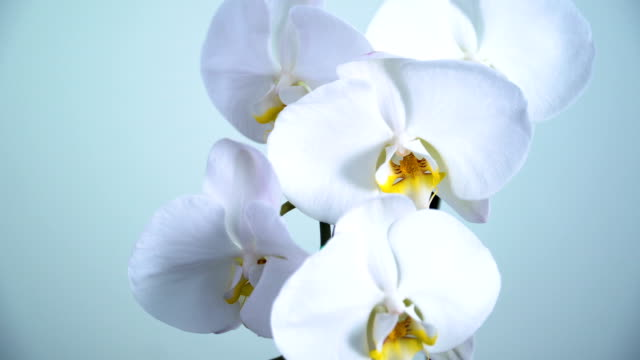dolly shot to close-up on Phalaenopsis orchid