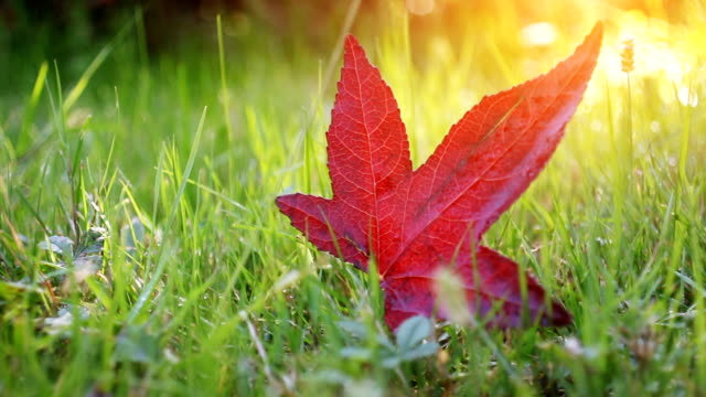 Dolly shot vibrant red autumn leaf in park Dolly shot vibrant red autumn leaf in park maple leaf videos stock videos & royalty-free footage