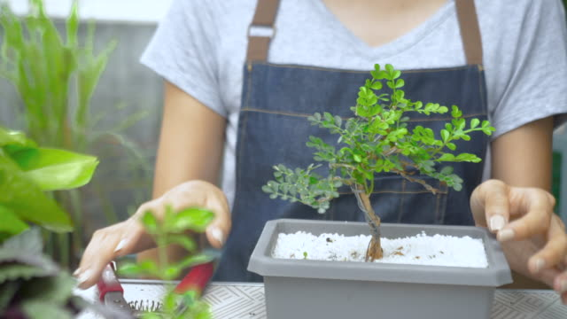 Dolly shot woman's hand is dressing up a bonsai tree.
