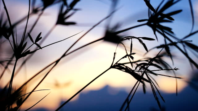 HD Dolly:flower of grass beside the road at sunset. video