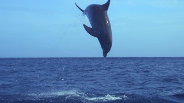 delfino. tursiope truncatus ponticus (tursiops truncatus ponticus). la popolarità dei delfini tursiopi è dovuta a numerosi riferimenti nel cinema e nella finzione e all'alta capacità di imparare - mammifero video stock e b–roll