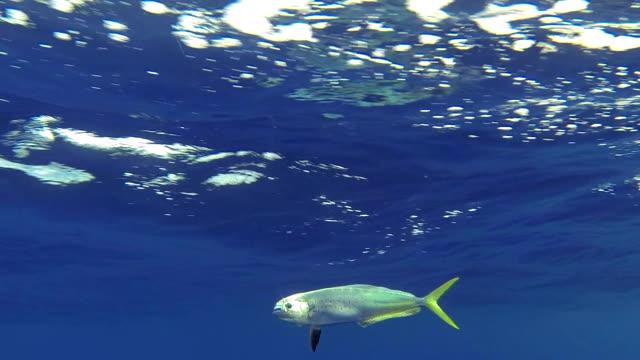 dolphin fish / mahi mahi underwater sideview - meta bildbanksvideor och videomaterial från bakom kulisserna