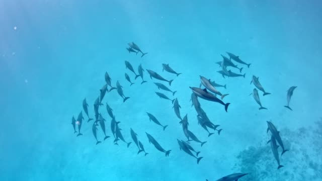 Dolphin pack. Underwater scenery Swimming in deep, turquoise sea. Dolphin family dolphin stock videos & royalty-free footage