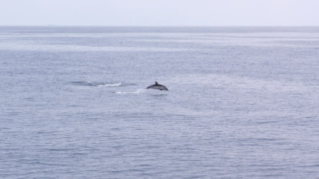 dolphin pod jumping - video