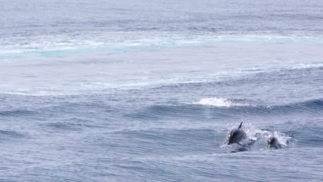 dolphin pod surfing - video