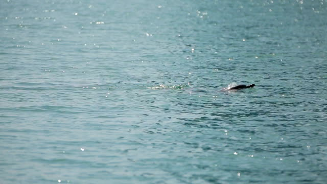 Dolphin swimming gracefully in sea water, wild animals in natural habitat video