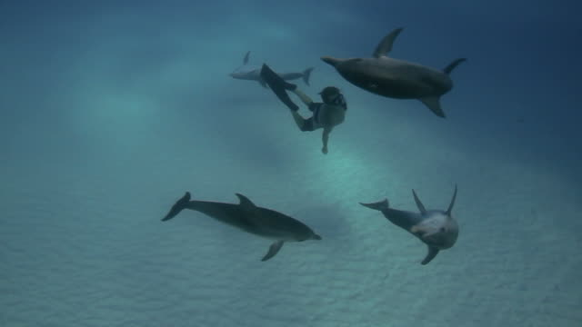 Dolphins and Snorkeler Dolphins playing with a Snorkeler. dolphin stock videos & royalty-free footage